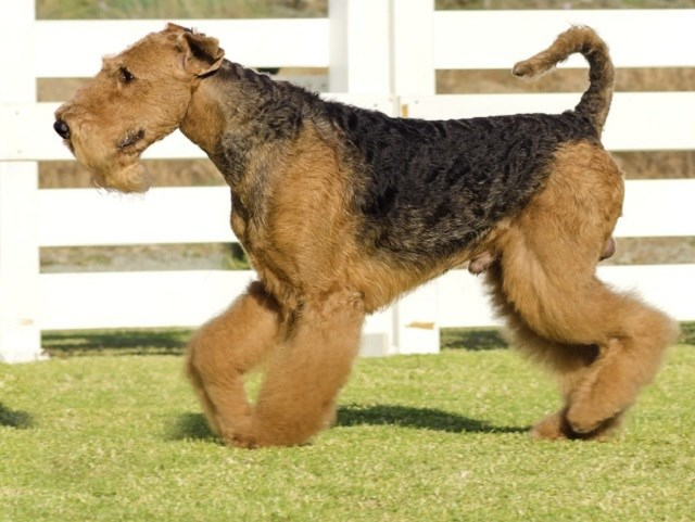 Airedale Terrier thumbnail