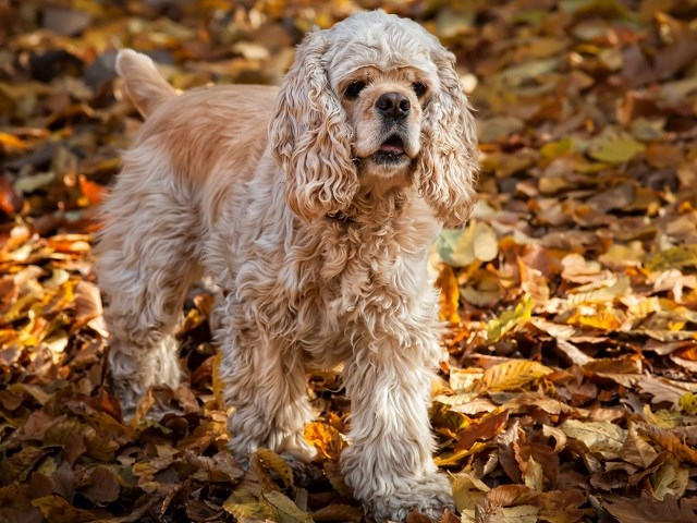 cocker spaniel puppies iowa search locally for cockapoo breeders nearest you 1025