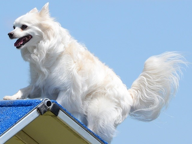 American Eskimo Dog Puppies And Dogs For Sale Near You