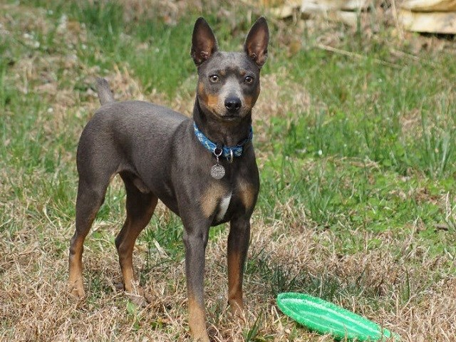 American Hairless Terrier thumbnail