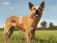 Australian Cattle Dog thumbnail