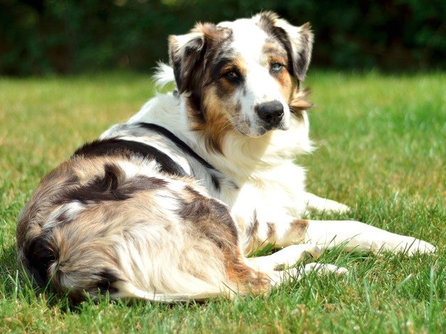 Australian Shepherd Dog Puppies and Dogs for sale near you