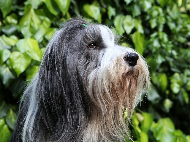 Bearded Collie thumbnail