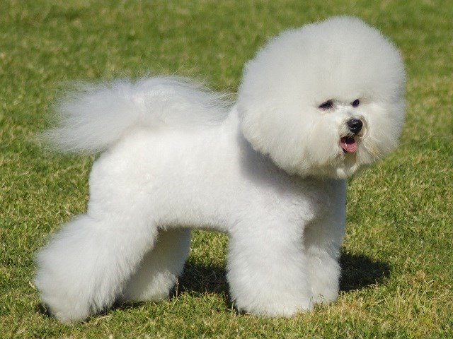 Bichon Frise Puppies and Dogs for sale near you