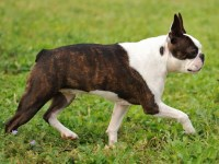 Boston Terrier Dogs and Puppies for Adoption
