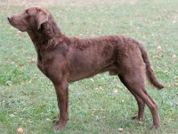 Chesapeake Bay Retriever thumbnail