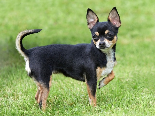Chihuahua Puppies and Dogs for Sale in Florida