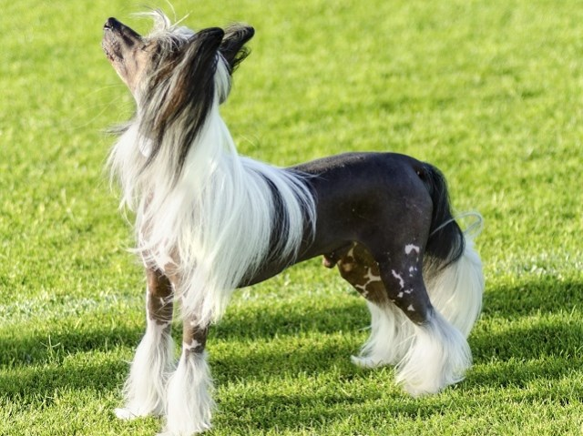 Chinese Crested Puppies And Dogs For Sale Near You