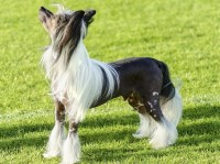 Chinese Crested thumbnail