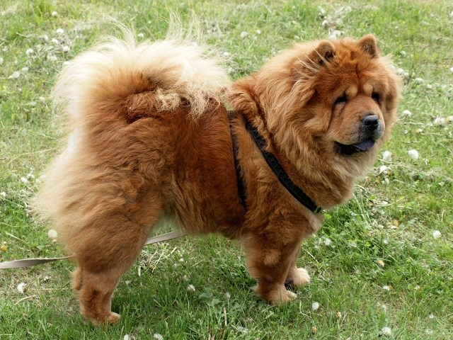 Chow Chow Puppies and Dogs for sale near you