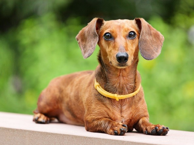 Dachshund Puppies and Dogs for sale near you