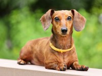 Dachshund Dogs and Puppies for Adoption