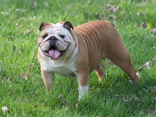 Typical English Bulldog