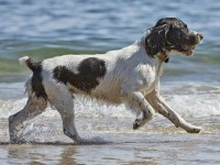 English Springer Spaniel thumbnail