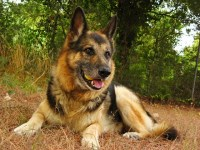 German Shepherd Dog Dogs and Puppies for Adoption