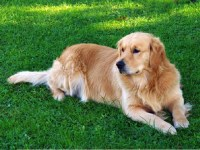 Golden Retriever Dogs and Puppies for Adoption