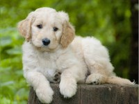 Goldendoodle Dogs and Puppies for Adoption