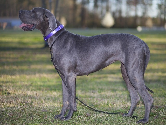 Great Dane Puppies and Dogs for sale near you