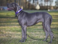 Great Dane thumbnail