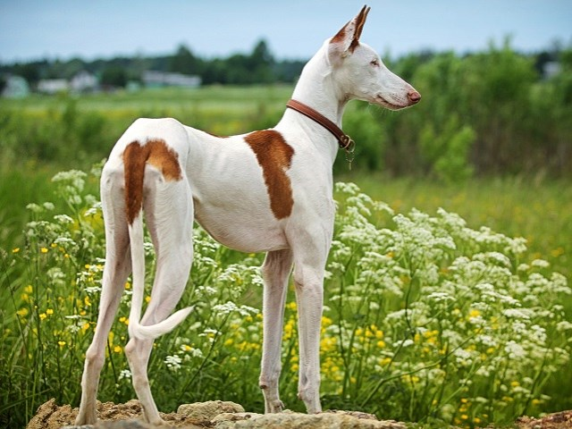 Italian Greyhound Breeders In North Carolina Freedoglistings