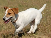 Jack Russell Terrier thumbnail