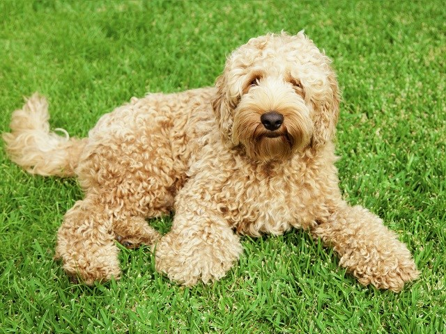 Labradoodle Puppies And Dogs For Sale Near You