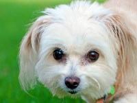 Maltipoo Dogs and Puppies for Adoption