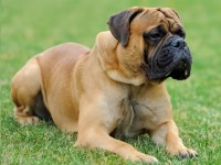 Mastiff Dogs and Puppies for Adoption