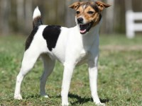 Wendover Terriers, Parson Russell Terrier Breeder in Sun ...