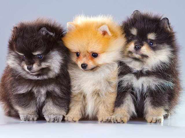 Pomeranian Puppies And Dogs For Sale Near You