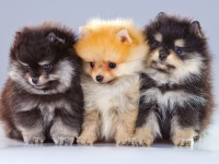 Pomeranian Dogs and Puppies for Adoption