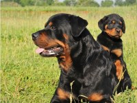 Rottweiler Dogs and Puppies for Adoption