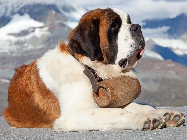 Saint Bernard Puppies And Dogs For Sale In Connecticut