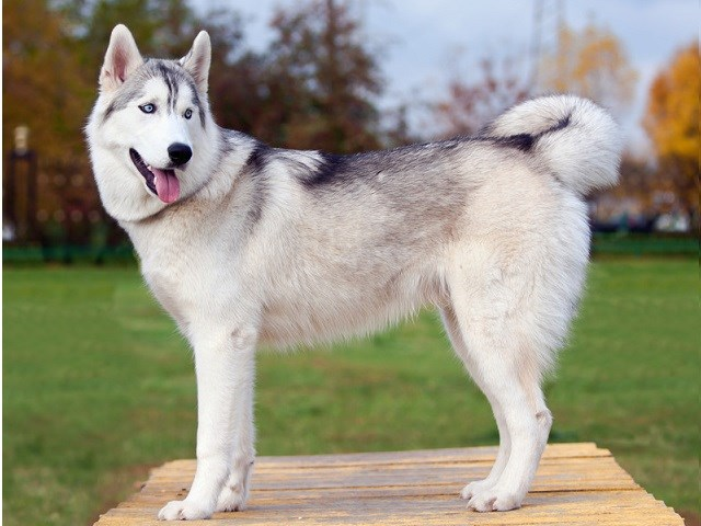 Typical Siberian Husky