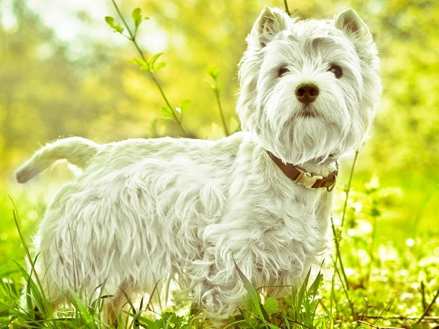 West Highland White Terrier thumbnail