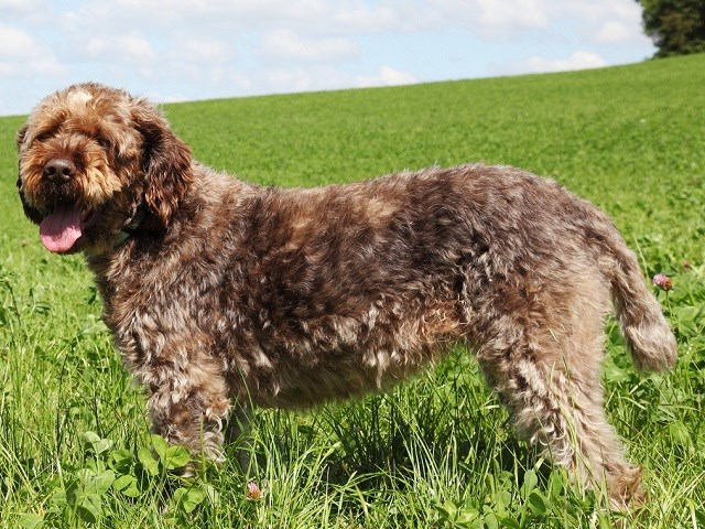 Wirehaired Pointing Griffon thumbnail