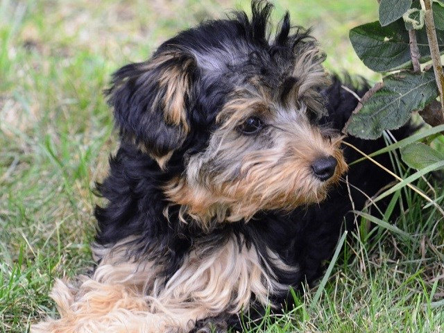 Yorkipoo Puppies and Dogs for sale near you