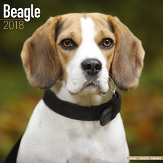 Beagle Calendar - Dog Breed Calendars - 2017 - 2018 wall Calendars - 16 Month by Avonside