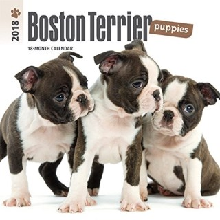 Boston Terrier Puppies 2018 7 x 7 Inch Monthly Mini Wall Calendar, Animals Dog Breeds Terrier Puppies