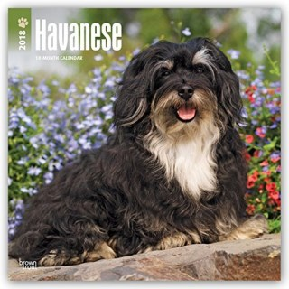 Havanese 2018 12 x 12 Inch Monthly Square Wall Calendar, Animals Small Dog Breeds