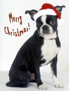 Pet Star Christmas Cards - Boston Terrier in Santa Hat