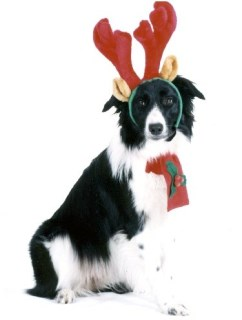 Pet Star Christmas Cards - Border Collie with Reindeer Antlers