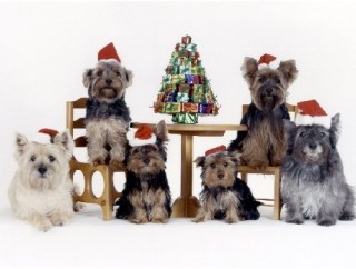Pet Star Christmas Cards - Cairn Terrier & Yorshire Terrier Family