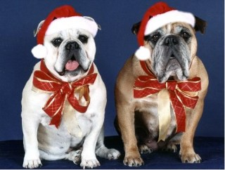 Pet Star Christmas Cards - Bulldogs