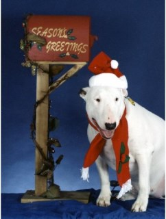 Pet Star Christmas Cards - Bull Terrier