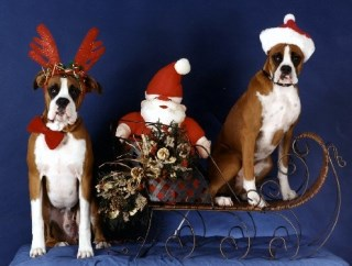 Pet Star Christmas Cards – Boxers with Santa