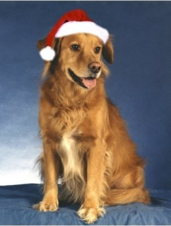 Pet Star Christmas Cards - Golden Retriever