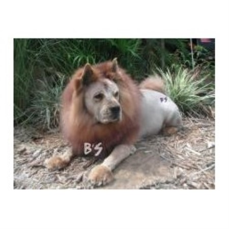 Lion Cut for Dogs Photos http://www.freedoglistings.com/details.aspx?t=1&id=124181