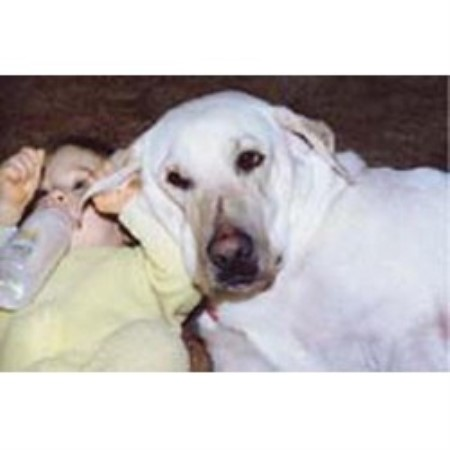 Labrador Retriever breeder Williamstown 4354