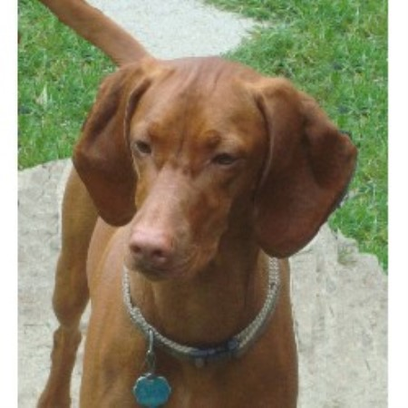 Our Vizslas are bred f...